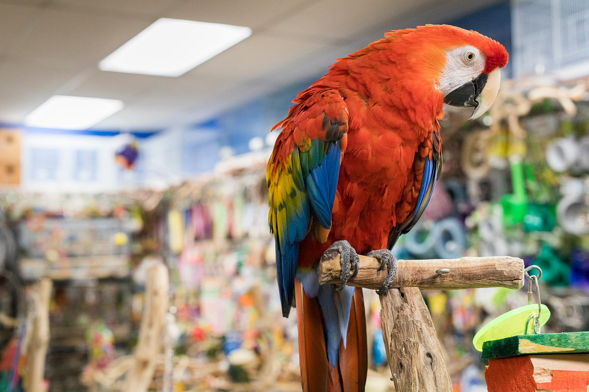 Animal Care - The Perfect Parrot